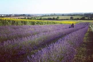 Lavender fields in the Hertfordshire countryside