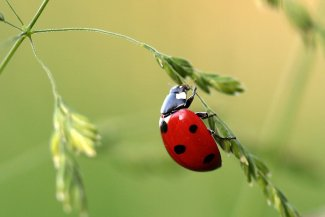 Ladybird climbs a flower stem
