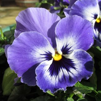 A close-up of a purple pansy flower