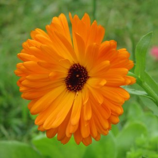 A close-up of an orange calendula flower