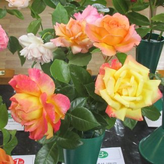 A display of three multicoloured roses in a vase
