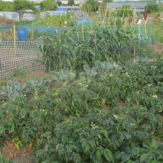 A view of an allotment with potatoes and sweetcorn growing