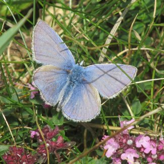A blue butterfly with wings open